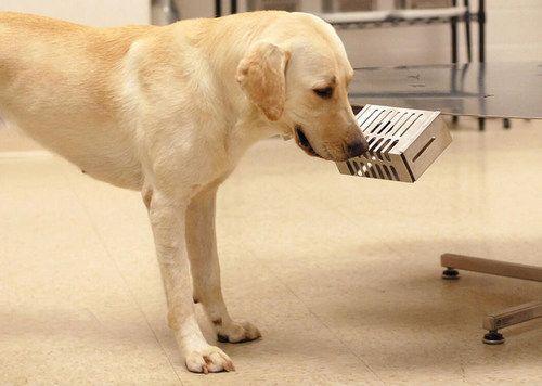Labradorokat képeznek ki, hogy kiszagolják a koronavírusos embereket - Qubit