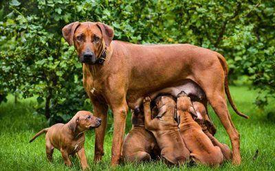 Tüzelés – Szeretne sok kiskutyát?